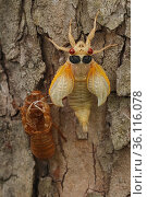 17 year Periodical cicada (Magicicada septendecim) teneral adult Brood X cicada, shortly after molting, Maryland, USA, June 2021. Стоковое фото, фотограф John Cancalosi / Nature Picture Library / Фотобанк Лори