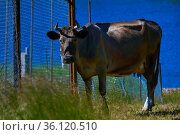 Cow stands sadly near the fence of the pasture. Стоковое фото, фотограф Евгений Харитонов / Фотобанк Лори