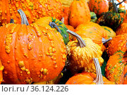 A background of various bumpy warty pumpkins and squashes. Стоковое фото, фотограф Zoonar.com/Amelia Martin / easy Fotostock / Фотобанк Лори