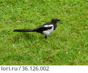 Eurasian magpie or common magpie (Pica pica) on grass. Стоковое фото, фотограф Валерия Попова / Фотобанк Лори