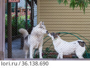 Two dogs, a pet husky and a mongrel, guard the house in the yard behind the fence in summer. Стоковое фото, фотограф Светлана Евграфова / Фотобанк Лори