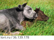 Two cows in the pasture lying resting huddled together. Стоковое фото, фотограф Евгений Харитонов / Фотобанк Лори