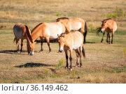 Equus ferus przewalskii, beautiful wild horses in natural habitat. Стоковое фото, фотограф Zoonar.com/DAVID HERRAEZ CALZADA / easy Fotostock / Фотобанк Лори