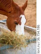 Pferd beim Fressen von Heu auf einem Bauernhof in Deutschland. Стоковое фото, фотограф Zoonar.com/Heiko Kueverling / easy Fotostock / Фотобанк Лори