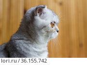 gray striped scottish fold kitten. Стоковое фото, фотограф Татьяна Яцевич / Фотобанк Лори