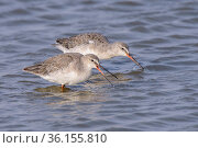 Spotted redshanks (Tringa erythropus) in winter plumage feeding in shallow water. Suffolk, UK. August. Стоковое фото, фотограф Oscar Dewhurst / Nature Picture Library / Фотобанк Лори