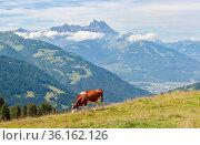 Lonesome cow at a alpine slope. Стоковое фото, фотограф René van der Meer / age Fotostock / Фотобанк Лори