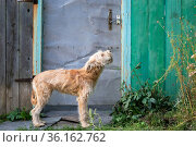 A young cute shaggy dog, a domestic pet of the Wheaten Terrier breed stands asks for home near the gate of the fence door in the village outdoors in summer. Стоковое фото, фотограф Светлана Евграфова / Фотобанк Лори