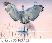 Sandhill crane (Antigone canadensis) landing to roost in evening light. Bosque del Apache National Wildlife Refuge, New Mexico. Стоковое фото, фотограф Jack Dykinga / Nature Picture Library / Фотобанк Лори