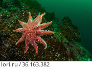Rose sunstar (Crossaster papposus) on a kelp frond off Vancouver Island, British Columbia, Canada. Стоковое фото, фотограф Shane Gross / Nature Picture Library / Фотобанк Лори
