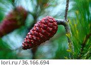 Aleppo-Kiefer, Pinus halepensis, Pinaceae, Zapfen, Baum, Pflanze, ... Стоковое фото, фотограф R. Kunz / age Fotostock / Фотобанк Лори