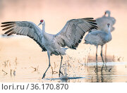 Sandhill crane (Antigone canadensis) standing in water, wings spread, Bosque del Apache National Wildlife Refuge, New Mexico. Стоковое фото, фотограф Jack Dykinga / Nature Picture Library / Фотобанк Лори