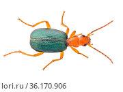 Bombardier beetle (Brachinus crepitans) Somerset, UK. June. Стоковое фото, фотограф Alex Hyde / Nature Picture Library / Фотобанк Лори