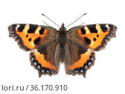 Small tortoiseshell butterfly (Aglais urticae) photographed on a white background in mobile field studio. Peak District National Park, Derbyshire, UK. September. Focus stacked image. Стоковое фото, фотограф Alex Hyde / Nature Picture Library / Фотобанк Лори