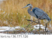 Great Blue Heron (Ardea herodias) fishing at a beaver dam. Grand Teton... Стоковое фото, фотограф George Sanker / Nature Picture Library / Фотобанк Лори