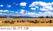 American buffalo (Bison bison) herd. Yellowstone National Park, Wyoming, USA. Стоковое фото, фотограф George Sanker / Nature Picture Library / Фотобанк Лори