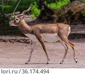 Blackbuck at the forest edge. Karlsruhe, Baden Wuerttemberg, Germany. Стоковое фото, фотограф Horst Lieber / age Fotostock / Фотобанк Лори