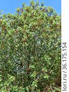 Mount Atlas mastic tree, Persian turpentine tree or almacigo de Canarias... Стоковое фото, фотограф J M Barres / age Fotostock / Фотобанк Лори