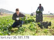 Farm worker cutting spinach on field. Стоковое фото, фотограф Яков Филимонов / Фотобанк Лори