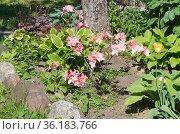 Клумба с рододендроном японским (лат. Rhododendron japonicum) в приствольном кругу. Стоковое фото, фотограф Елена Коромыслова / Фотобанк Лори