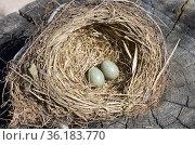 Яйца дрозда в гнезде на старом пне. Стоковое фото, фотограф Елена Коромыслова / Фотобанк Лори