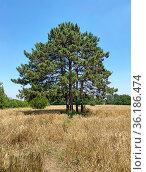 Сосны на ячменном поле. Стоковое фото, фотограф Мария Кылосова / Фотобанк Лори