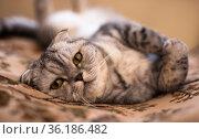 gray fold Scottish cat lying on sofa. Стоковое фото, фотограф Татьяна Яцевич / Фотобанк Лори