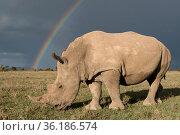 Southern white rhinoceros (Ceratotherium simum simum) with rainbow... Ol Pejeta Conservancy, Kenya. Endangered species. Стоковое фото, фотограф Mark Carwardine / Nature Picture Library / Фотобанк Лори