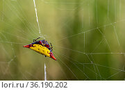 Spiny orb weaver (Gasteracantha), on web, Dominica, Eastern Caribbean. Стоковое фото, фотограф Derek Galon / Nature Picture Library / Фотобанк Лори