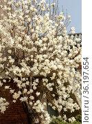 White magnolia flowers on tree. Стоковое фото, фотограф Marquicio Pagola / age Fotostock / Фотобанк Лори