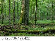 Old oak trees in morning mist in summer, Bialowieza Forest, Poland... Стоковое фото, фотограф Aleksander Bolbot / easy Fotostock / Фотобанк Лори
