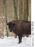 Free ranging European Bison female in wintertime forest, Bialowieza... Стоковое фото, фотограф Aleksander Bolbot / easy Fotostock / Фотобанк Лори