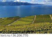 Lavaux vineyards on terraces near Chexbres, autumn - September, UNESCO... Стоковое фото, фотограф Danuta Hyniewska / age Fotostock / Фотобанк Лори