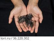 Northern quoll (Dasyurus hallucatus) orphan babies, held in human... Стоковое фото, фотограф Jurgen Freund / Nature Picture Library / Фотобанк Лори
