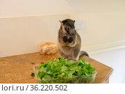 Lumholtz kangaroo (Dendrolagus lumholtzi) juvenile feeding on leaves... Стоковое фото, фотограф Jurgen Freund / Nature Picture Library / Фотобанк Лори