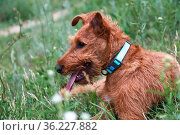 Young serious puppy dog purebred Irish Terrier redhead breed lies in the grass in summer in tick season. Стоковое фото, фотограф Светлана Евграфова / Фотобанк Лори
