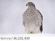 Eurasian goshawk (Accipiter gentilis) juvenile in snow, Vitbergets Nature Reserve, Vasterbotten, Sweden. Стоковое фото, фотограф Staffan Widstrand / Nature Picture Library / Фотобанк Лори