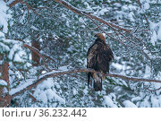 RF - Golden eagle (Aquila chrysaetos) perched in tree in snow, Vitbergets Nature Reserve, Vasterbotten, Sweden (This image may be licensed either as rights managed or royalty free.) Стоковое фото, фотограф Staffan Widstrand / Nature Picture Library / Фотобанк Лори