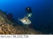 Scuba diver and John Dory, Zeus Faber, Vervece rock, Marine Protected... Стоковое фото, фотограф Franco Banfi / age Fotostock / Фотобанк Лори