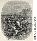 Actiniaria, Sea anemones. Old 19th century engraved illustration ... Редакционное фото, фотограф Jerónimo Alba / age Fotostock / Фотобанк Лори