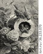 Sparrow nest. Old 19th century engraved illustration from El Mundo... Редакционное фото, фотограф Jerónimo Alba / age Fotostock / Фотобанк Лори