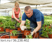 Man with wife cultivating mint. Стоковое фото, фотограф Яков Филимонов / Фотобанк Лори