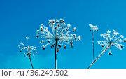 Crystal snow-flowers against the blue sky. Winter wonder of nature... Стоковое фото, фотограф Zoonar.com/MYCHKO / easy Fotostock / Фотобанк Лори