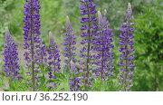 Blue-flowered Bluebonnet. Beautiful ornamental Lupin grow in garden, sways in wind. Стоковое видео, видеограф А. А. Пирагис / Фотобанк Лори