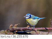 Blaumeise (Cyanistes caeruleus) im Naturschutzgebiet Mönchbruch bei... Стоковое фото, фотограф Zoonar.com/Dirk Rueter / easy Fotostock / Фотобанк Лори