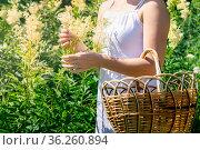 Young woman herbalist gathers meadowsweet inflorescences in a basket. Стоковое фото, фотограф Евгений Харитонов / Фотобанк Лори