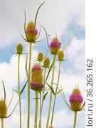 Spiky wild weed plant growing, dipsacus. Стоковое фото, фотограф Zoonar.com/Péter Gudella / easy Fotostock / Фотобанк Лори