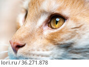 Extreme close-up portrait of red tabby Maine Shag Cat. Стоковое фото, фотограф А. А. Пирагис / Фотобанк Лори