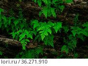 Small ferns grow upside down on the vault of the cave. Стоковое фото, фотограф Евгений Харитонов / Фотобанк Лори