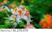 Background with white orange azalea flower with copy space. Стоковое фото, фотограф Zoonar.com/Hilda Weges / easy Fotostock / Фотобанк Лори
